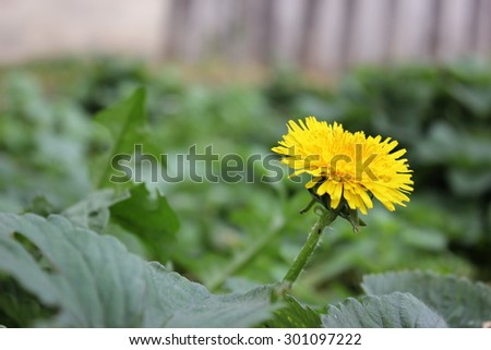 Yellow blooming dandelions on a green meadow in summer - stock photo