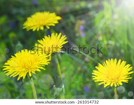Yellow blooming dandelions on background of green grass in early spring in the sunshine - stock photo
