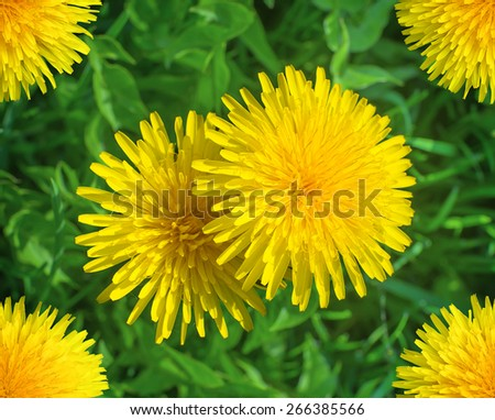 Yellow blooming dandelions on background of green grass in springtime - stock photo