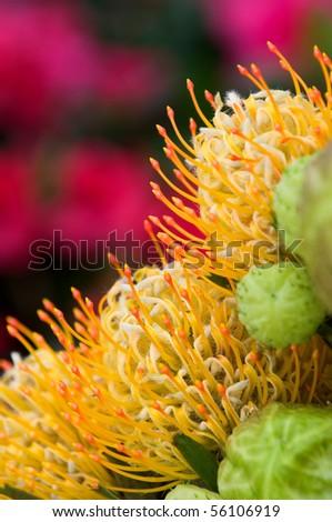 Yellow blooming protea pincushion flowers, Leucospermum cordifolium - stock photo