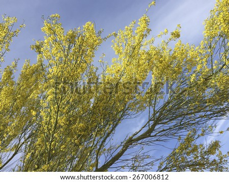 Yellow blossom of Palo Verde tree in spring against blue sky - stock photo