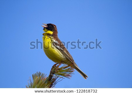 Yellow-breasted Bunting male singing on a branch of dwarf pine, against a bright blue sky