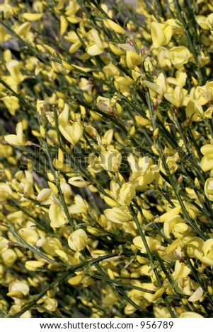 yellow broom - stock photo