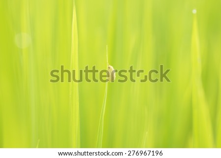 Yellow bug on soft green background of rice plant in rice field - stock photo
