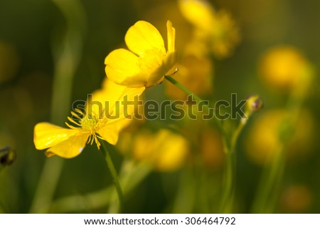 Yellow buttercup flowers (Ranunculus) in the meadow. Close up. - stock photo