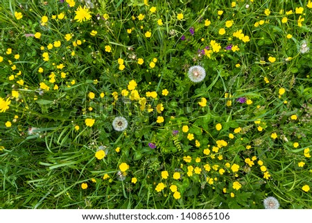 Yellow buttercup meadow top view with dandelion - stock photo