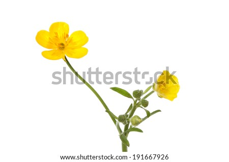 yellow buttercup, Ranunculus, flowers and buds isolated against white - stock photo