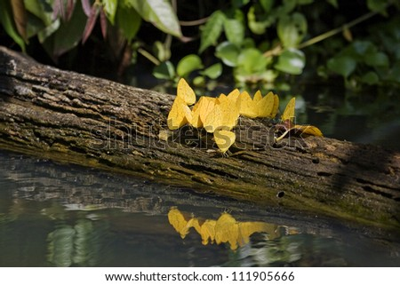 Yellow butterflies, Costa Rica - stock photo