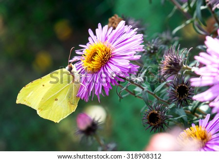 Yellow butterfly collecting pollen from the pink flower macro - stock photo