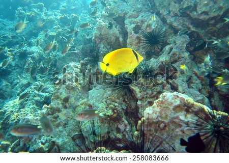 yellow butterfly fish at the coral reef of Anemone Reef, Thailand - stock photo