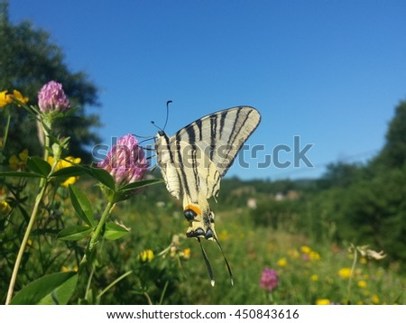 Yellow butterfly on clover flower photographed with sky in background. - stock photo