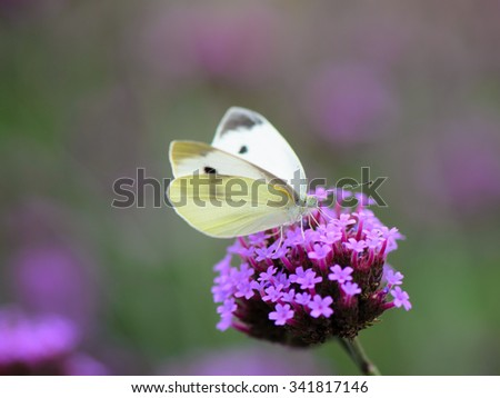 Yellow butterfly on flowering Verbena bonariensis (Purpletop Vervain, Tall Verbena, Clustertop Vervain) colorful background. - stock photo