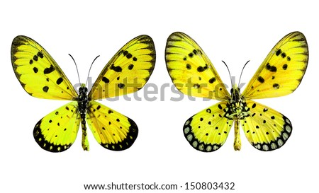 Yellow Butterfly, Tawny coster (Acraea violae) upper and lower wings profile in transparency color isolated on white background - stock photo