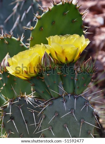 yellow cactus flower bloom