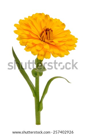 Yellow Calendula Officinalis (Pot Marigold) Flower Isolated on White Background - stock photo