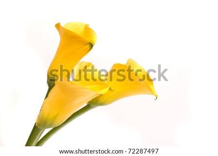 Yellow callas on a white - stock photo