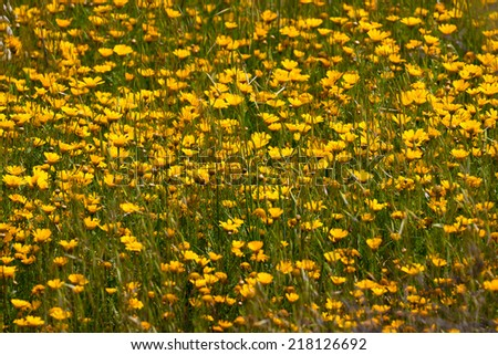 Yellow camomile in a spring field - stock photo