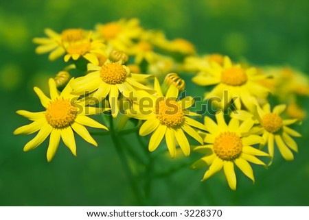 "Yellow camomiles on a green background. ""Chamomilla suaveolens"". - stock photo"
