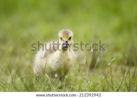 Yellow Canada Goose gosling chick looking at the camera against a natural muted green grass background.  Taken outside in it's natural environment. - stock photo