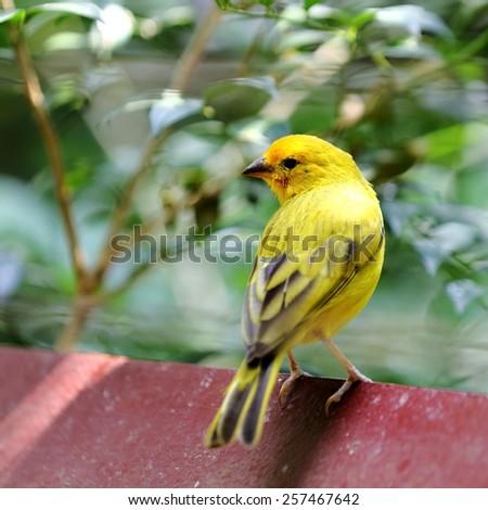 Yellow Canary Bird Resting on Fence at Backyard - stock photo