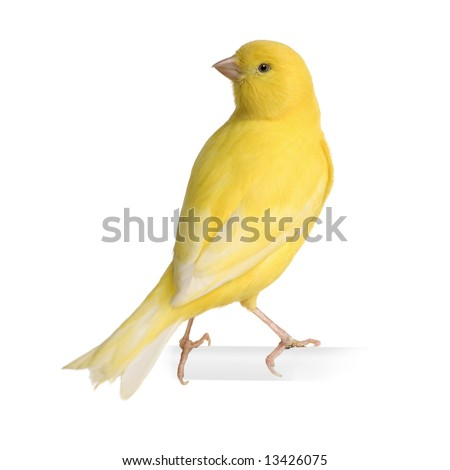 Yellow canary - Serinus canaria on its perch in front of a white background - stock photo