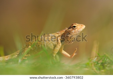 Yellow chameleon sitting in the grass in close-up - stock photo