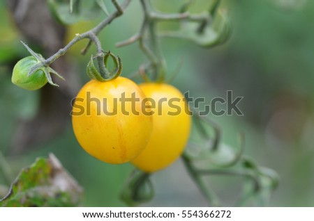 Yellow cherry tomatoes grow in the garden. Close up.