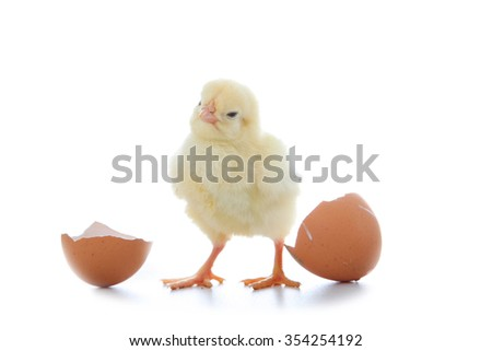 Yellow chicken and egg on a  white background