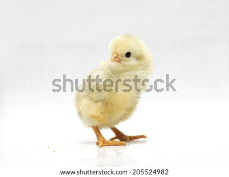 Yellow chicken on a white background. Photo.
