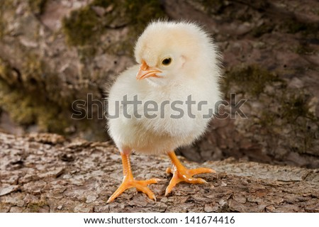 Yellow chicken standing on a log on the wood background
