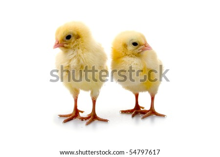 Yellow chickens isolated on a white background - stock photo