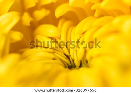 Yellow chrysanthemum close-up , floral abstract background. Autumn flower. Shallow DOF, focus on the center of the flower. - stock photo