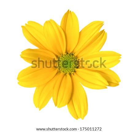 Yellow chrysanthemum. Deep focus. No dust. No pollen. Please watch more flower heads in my portfolio. - stock photo