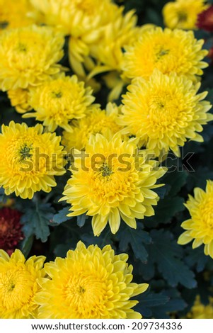 Yellow Chrysanthemum flora blooms. shallow DOF, focus on the flower at the centre. - stock photo