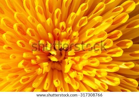 yellow chrysanthemum flower close-up - stock photo