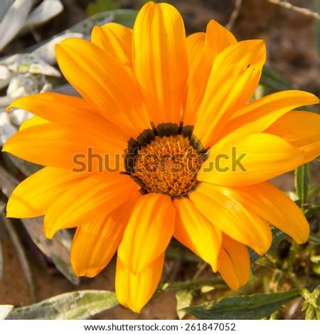 Yellow Chrysanthemum flower in the garden - stock photo