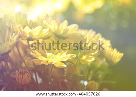 yellow Chrysanthemum flower in the garden. group of yellow chrysanthemum flower on blur background. Fill color effect for vintage style. - stock photo