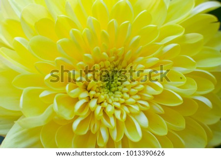 Yellow chrysanthemum flower macro