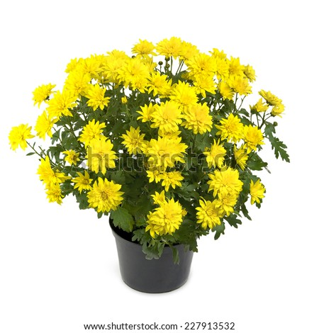 yellow chrysanthemum flower plant in the pot  - stock photo