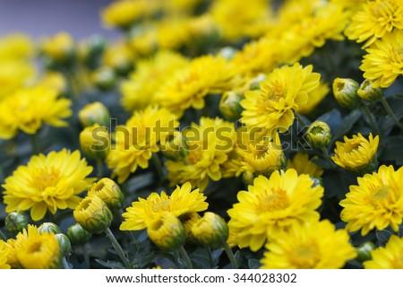 Yellow chrysanthemum flowers. - stock photo