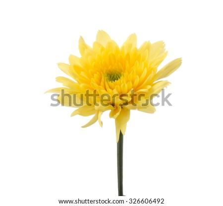 Yellow chrysanthemum flowers isolated on white background - stock photo