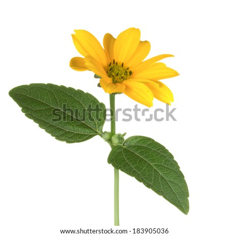 Yellow chrysanthemum isolated on white. - stock photo