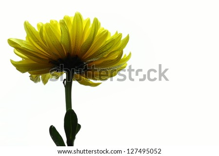 Yellow chrysanthemum on white.