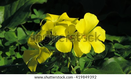 yellow clover on a spring flower field  - stock photo