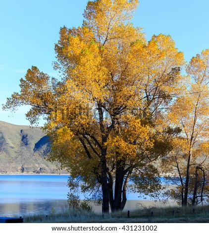 yellow coloured leaves are seen on the trees as autumn arrives in Lake Tekapo, New Zealand
