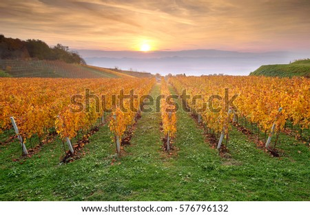 Yellow coloured vineyard in early autumn morning