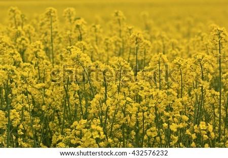 Yellow colza field - stock photo
