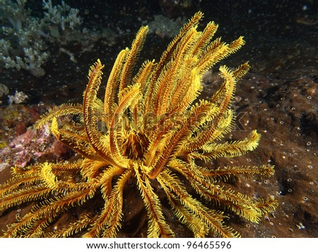 Yellow coral with yellow whip coral shrimp crawling in Indo-Pacific ocean, Indonesia. - stock photo