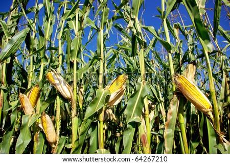 Yellow corn at portuguese farm - stock photo