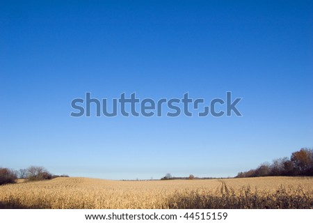 Yellow corn field under blue sky near the small village - stock photo